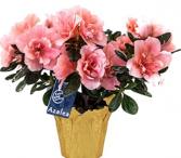 """Azalea Plant 6"""" pot Plant"""