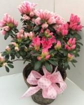 Azalea Plant Blooming Plant