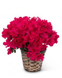 Azalea Plant Flower Arrangement