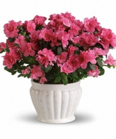 Azalea Plant in a Ceramic Pot