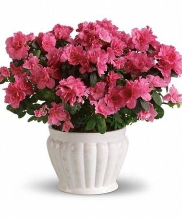 Azalea Plant in a Ceramic Pot