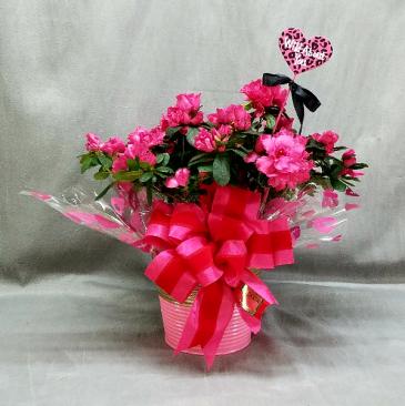 Azalea plant in decorater tin