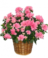 Azalea Plant  Plant