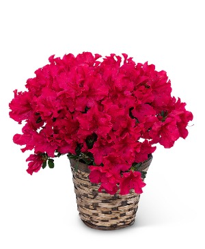 Azalea Plant Plant in Nevada, IA | Flower Bed