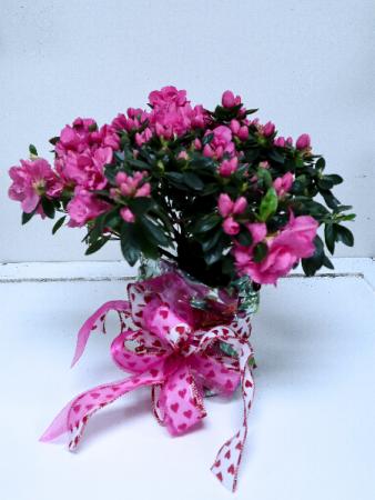 azalea plant valentine