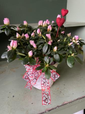 Azalea plant Valentines