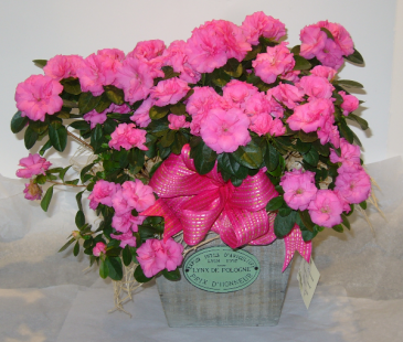 AZALEA PLANTER Blooming Plant
