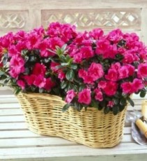 Azalea Basket Mother's Day