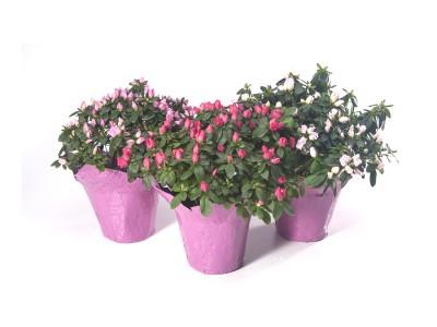 Azalea Plants