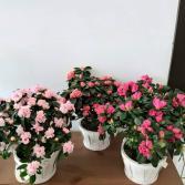 Azalea Plants Plant