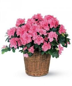 Azalea Potted Plant
