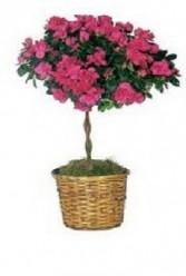 Azalea Topairy Plant