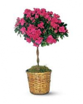 "AZALEA TOPIARY 8"" LIVING PLANT AND BASKET"