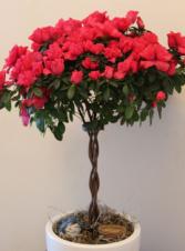 Azalea Tree in basket