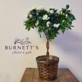 Azalea Tree Plant