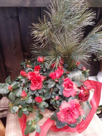 Azalea with silver pine