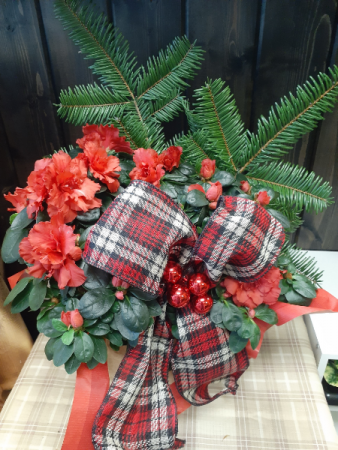Azalea with tartan ribbon