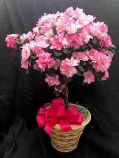 Azaleas of Versailles Blooming Plant