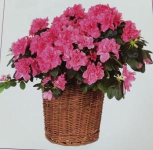 Azalia Plant