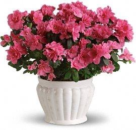Blooming Azaela Plant