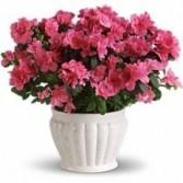 Azelea Pant Blooming Plant
