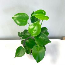 Baby Monstera Deliciosa  ***PICK-UP ONLY***
