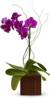 Bamboo Elegance Flowers Orchid Plant