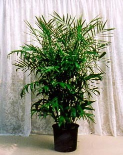 Bamboo Palm Large House Plant in Corner Brook, NL | The Orchid