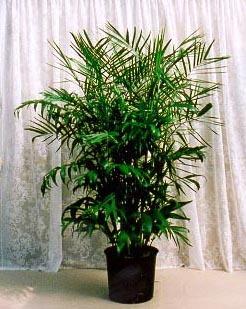 Bamboo Palm Large House Plant