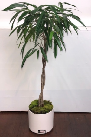Banana Ficus Green Plant