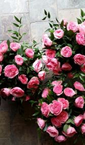 Baroness Garden Rose Arrangement