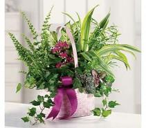 Basket Dishgarden Fresh Assortment of House Plants