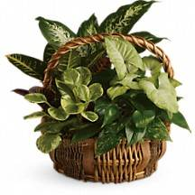 Basket dishgarden Mixed green plants in a basket with fresh seasonal flowers added