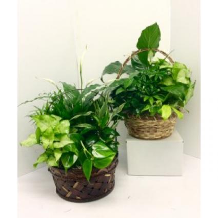 Basket Dishgardens Green Plants