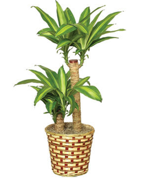 BASKET OF CORN PLANTS  Dracaena fragrans massangeana  in Sedalia, MO | State Fair Floral