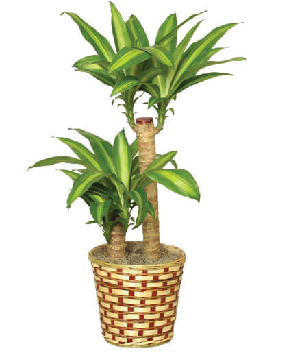 BASKET OF CORN PLANTS Dracaena Fragrans Massangeana In