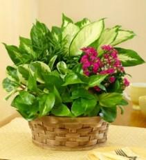 Basket of Everlasting  Plant Basket