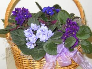 Basket of Violets Blooming Plant in Lock Haven, PA | INSPIRATIONS FLORAL STUDIO