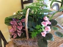 Basket Plant