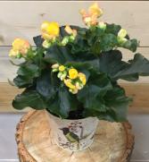 BC grown Begonia