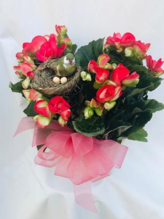 Beautiful Begonias Blooming Plant
