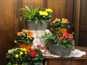 Beautiful Begonias Plant in Mazomanie, WI | B-STYLE FLORAL AND GIFTS