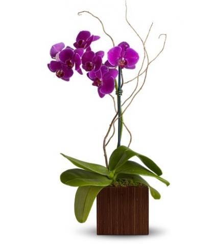 Blooming Phalaenopsis Orchid Plant Modern Design