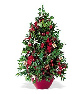 Beautiful Boxwood  Tree Christmas