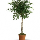 Beautiful Braided Ficus Tree Dressed up in a basket with and a pretty bow.
