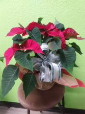 Beautiful dressed up Poinsettia
