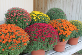 Beautiful Fall Mum Plant Dressed up for fall with a basket and seasonal bow!