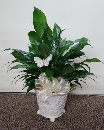 Beautiful Lush Peace Lily FHF-P09 Plant (local only)