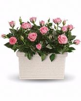 Beautiful  Mini Roses