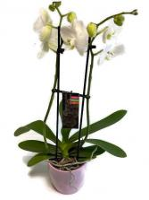 Beautiful Orchid blooming plant